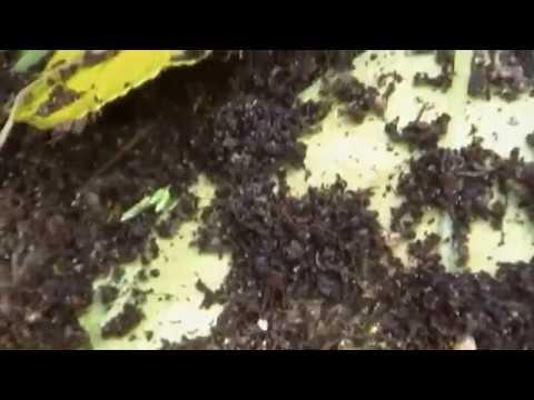 Ants in compost bin