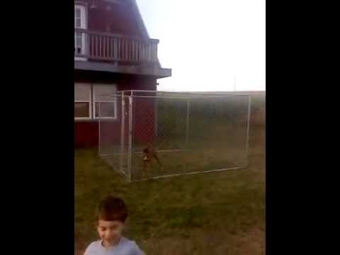 Boxer Jumping 6 Foot Fence