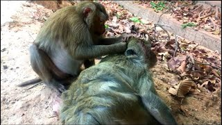 Sweet Monkey Grooming,Sweet monkey,Monkey so lovely,Grooming and finding lice