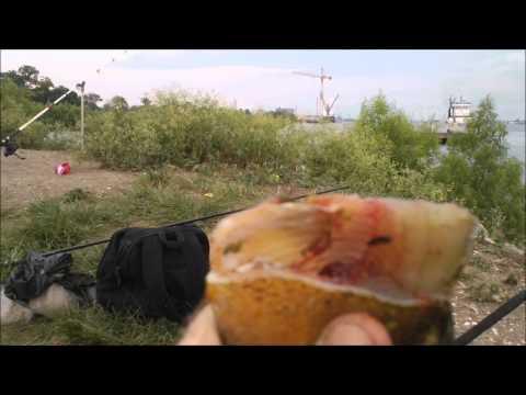 Fishing with Bluegill as cut bait