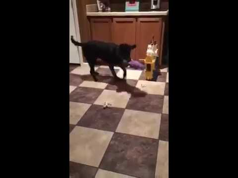 Diabetic Alert Dog Learns To Retrieve Food
