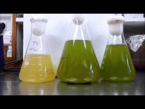 Cyanobacteria versus sodium  hypochlorite