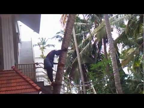 how to cut a coconut tree