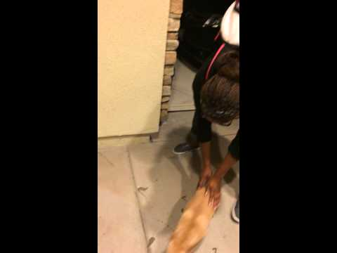 Ecstatic Chihuahua Pees When BFF Visits from College