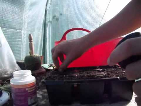 Propagating Lavender from cuttings/growing Lavender cuttings