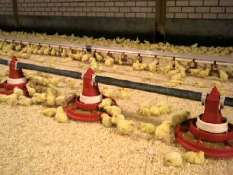 Panfeeding broilers 2 days old Fittra VDL Agrotech