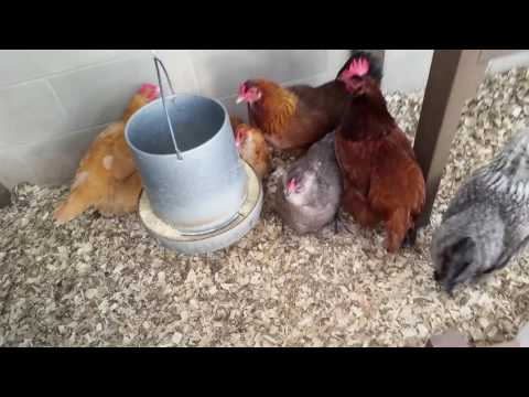 Broody Hen in the Flock: Let her hatch eggs or not?