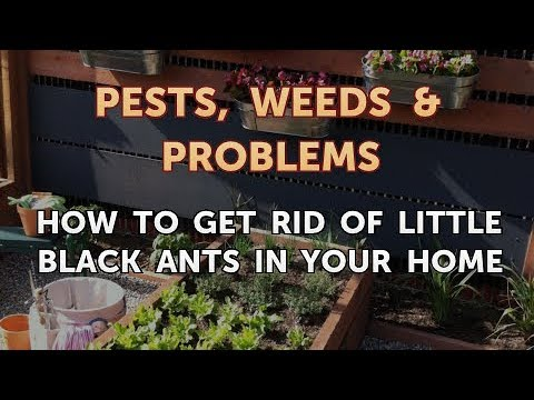 How to Get Rid of Little Black Ants in Your Home