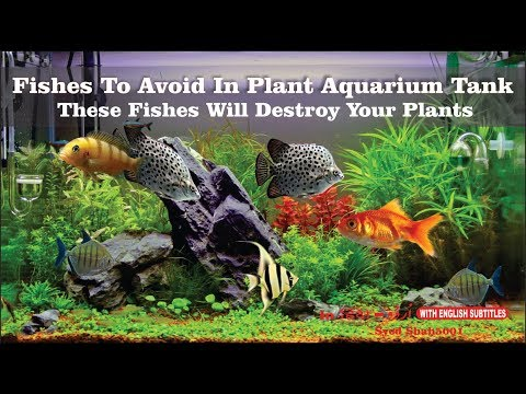 Fishes To avoid for planted tank Avoid these fishes and SAVE your plants trouble.
