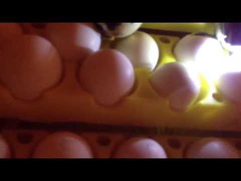 Doing A Fertility Check On Bobwhite Quail Eggs.