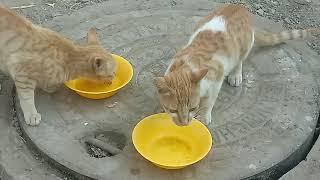 Kitty kosu Njoyin their fav food ❤