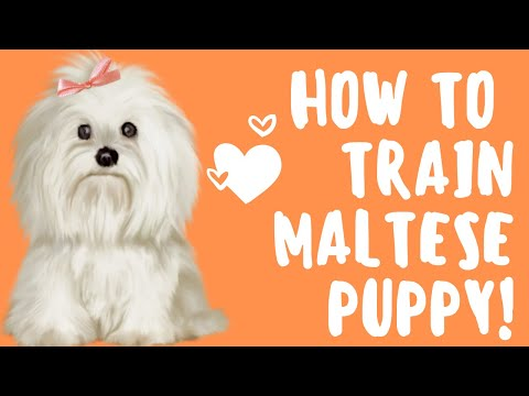 *** How to train a maltese puppy. EASY! FREE Mini-Course ***