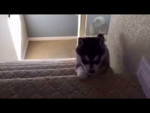 Dogs Falling Down Stairs