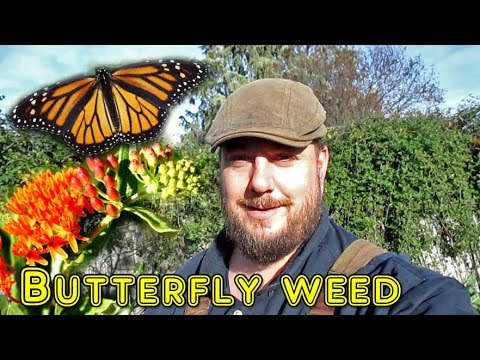 Growing Butterfly Weed (Milkweed) | It's Many Benefits & When To Harvest The Seed