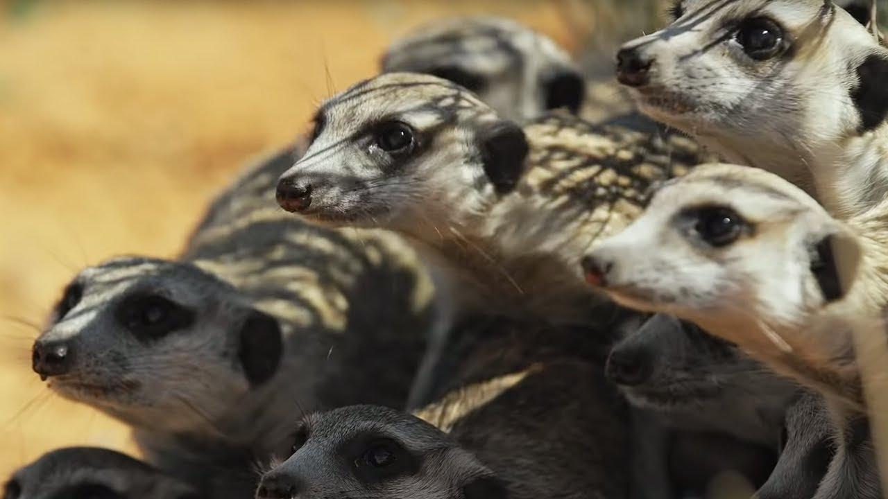 Meerkats vs Robot Cobra   Spy In The Wild   BBC Earth