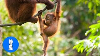 Baby Orangutan Are Adorable - Cutest Compilation