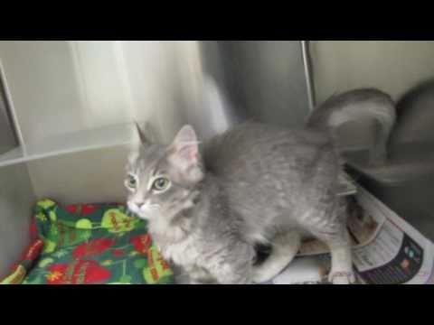 Aeva the Massively Affectionate Kitten - Adopted!