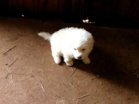 For Sale - Maremma LGD Pups