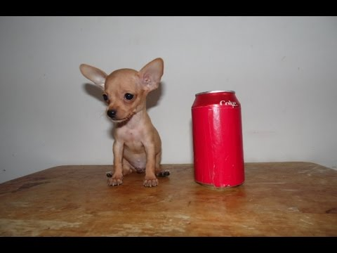 Blue Chihuahua Puppies For Sale In Alabama / Blue Chihuahua