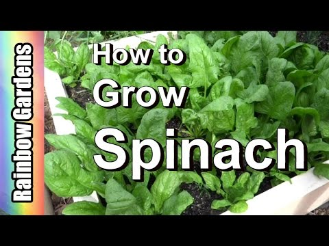 How to Grow Spinach 101: From Seed, Planting, Pests, Problems, Harvest,  to Kitchen!