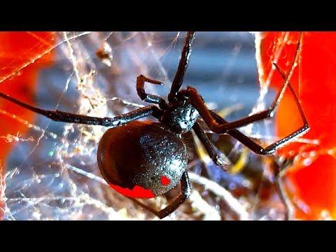 Deadly Redback Spider Vs Centipede Fatal Mistake Spider Study