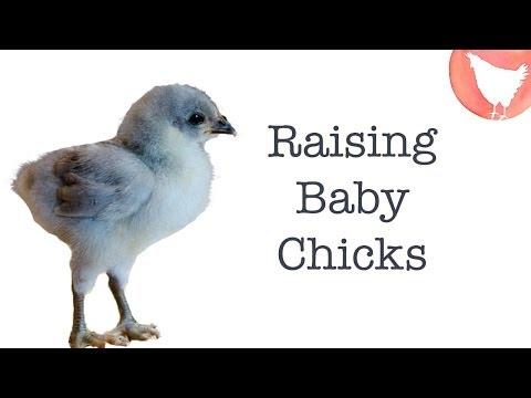 Raising Baby Chicks