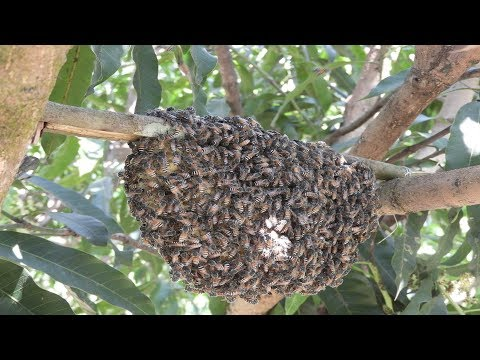 The dwarf  bee method | Apis florea beekeeping | how to keep apis florea