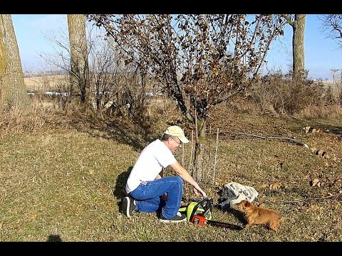 Pruning apple trees for better production