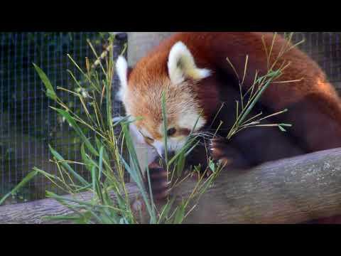 Masala the red panda eating bamboo