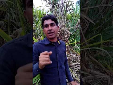 Netsurf Sugarcane Result In Up