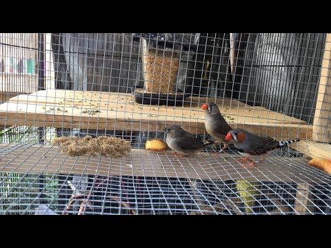 Will Finches Nest Year Round?/First Babies of 2018