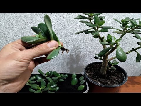 How to grow a Jade plant from cutted leaves/branch very easy