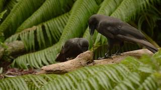 Crafty crows: master tool users from the tropics - Summer Science Exhibition 2017