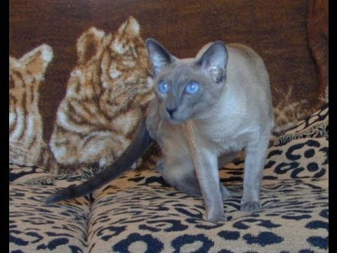 TRIBUTE BLUE POINT SIAMESE Cat DIED mourning the loss