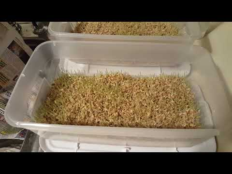 How to Grow Wheat Inside: Step 3 Sprouting