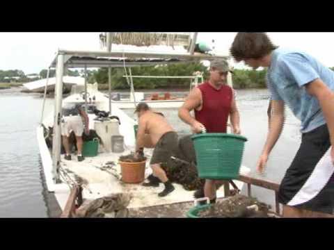 Clam farming in Cedar Key, Florida