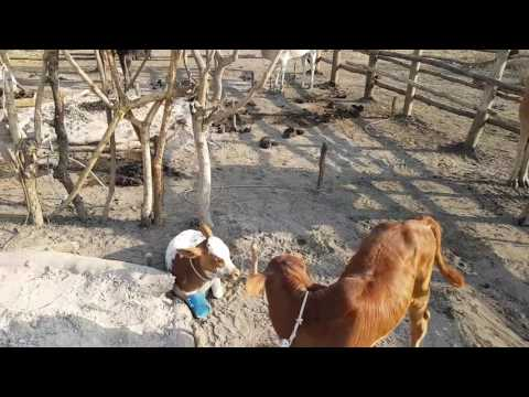 How Dinka keep their cows warm and flies away