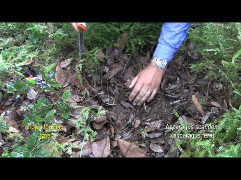 ASPARAGUS WEED CONTROL 4. Asparagus scandens (asparagus fern)