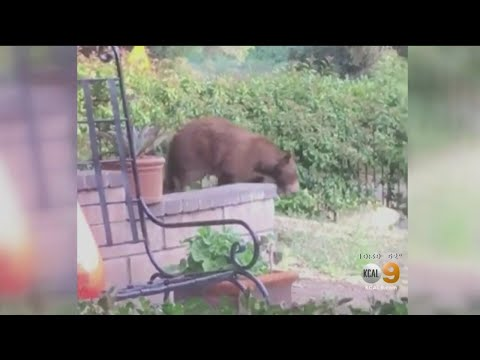 'The Bears Seem To Know What Night Of The Week It Is': Trash Pickup Time Is Just Right In San BEARna