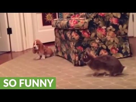 Basset Hound puppy plays with bunny rabbit