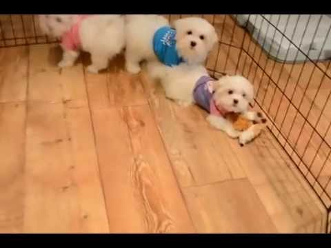 Teacup Toy Maltese Maltipoo Morkie Yorkie Puppies For Sale In Los