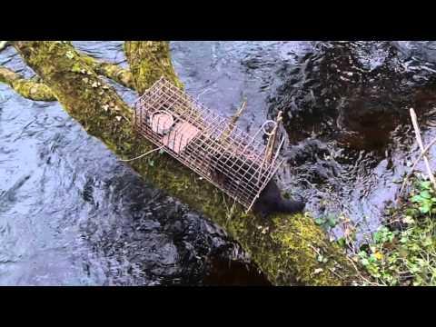 First mink of April