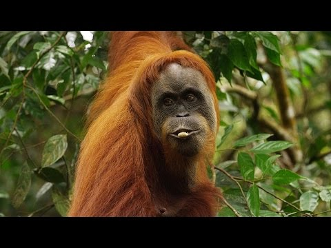 Xxx Mp4 Orangutan National Geographic Documentary HD 3gp Sex