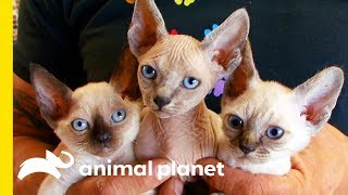 This Cat Breed Looks Like A Kitten For Its Whole Life!   Cats 101