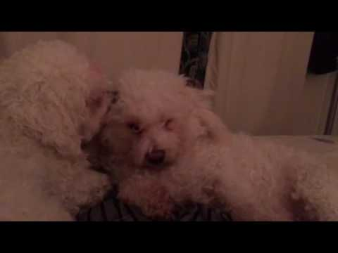 Bichon frise cleaning session