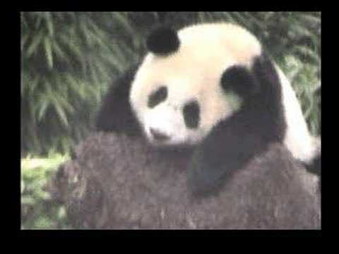Pandas Survive