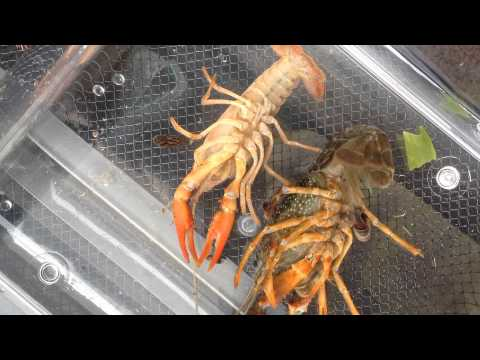 Crawdads waking up from being on ice