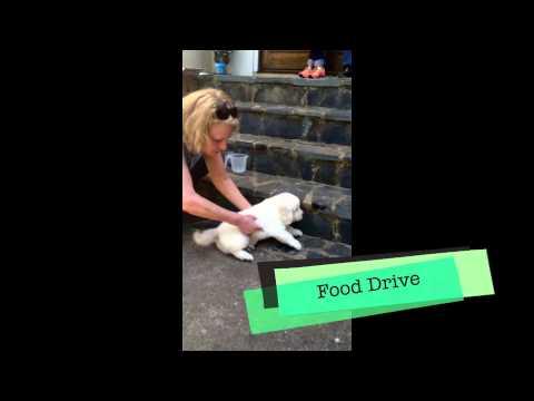 Service Dog Puppy Selection, Dog Training Charlotte North Carolina