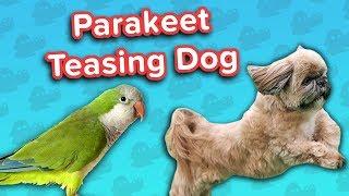 Parakeet Torments Dog & Guilty Goldens! // Funny Animal Compilation