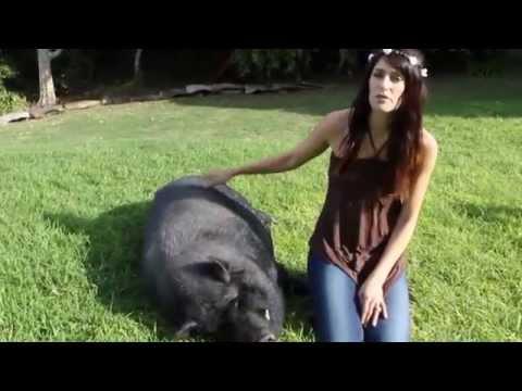 Meet our pot bellied pig